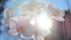 An orchid lit by the sun