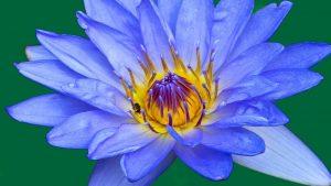 A blue lotus